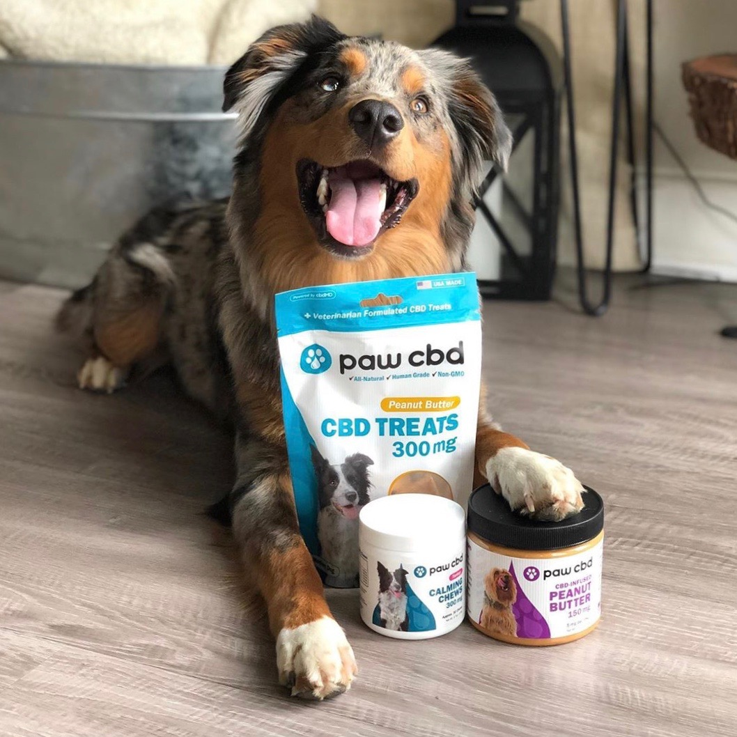 moose the mini aussie with cbdMD Paw CBD Line product for use by 360 Magazine